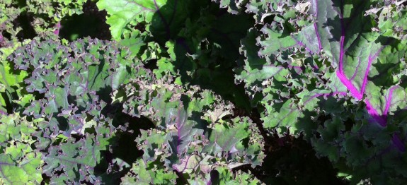 nutrition value of kale