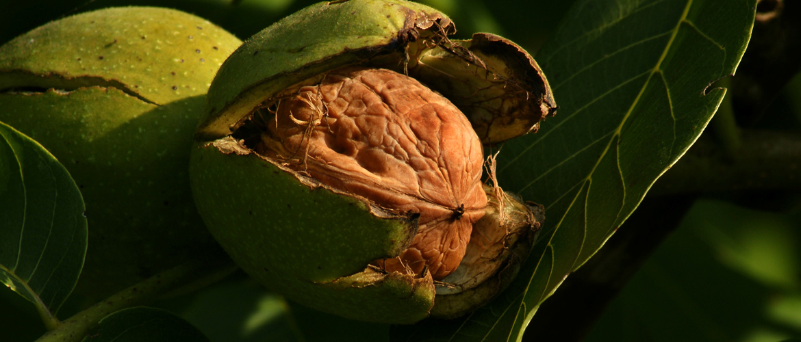walnut health benefits